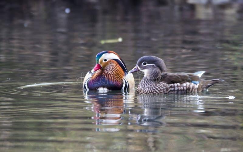 Mandarin duck stock photo