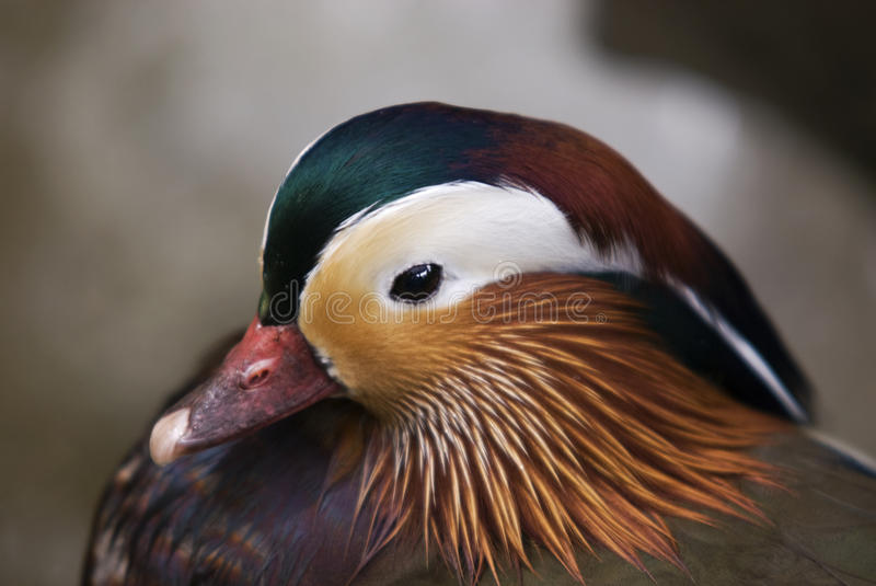 Mandarin Duck Shallow Depth of Field stock images