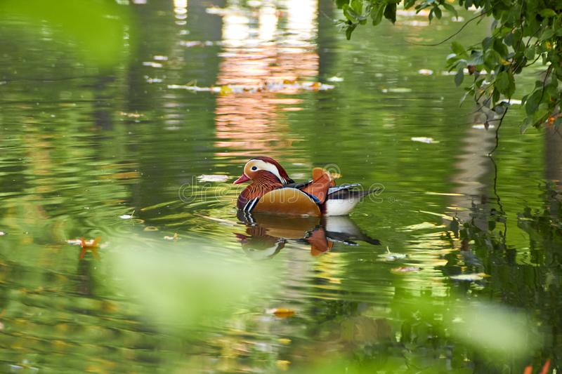 Mandarin duck. Mandarin duck swimming in the lake. Bird with bright multi-colored feathers. Duck with a beautiful color floats on royalty free stock image