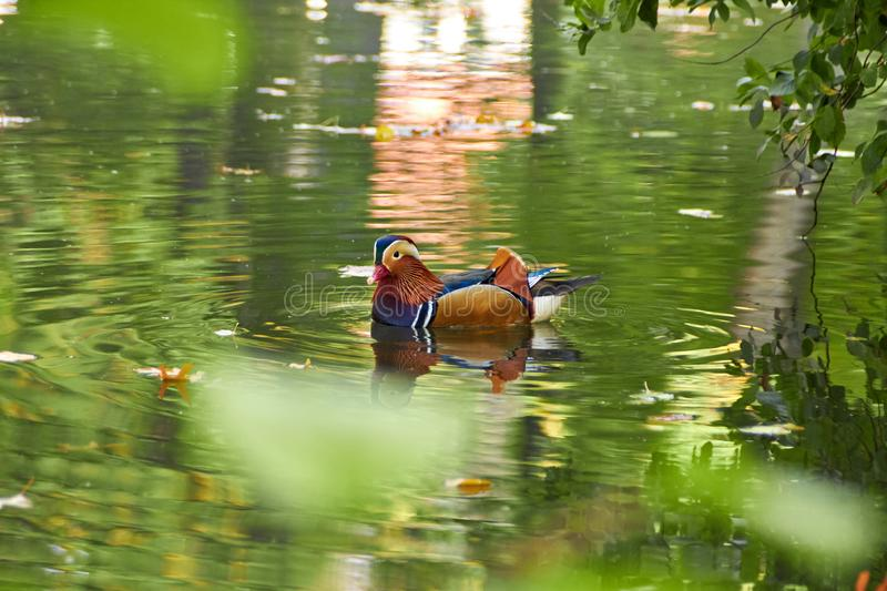 Mandarin duck. Mandarin duck swimming in the lake. Bird with bright multi-colored feathers. Duck with a beautiful color floats on royalty free stock photography