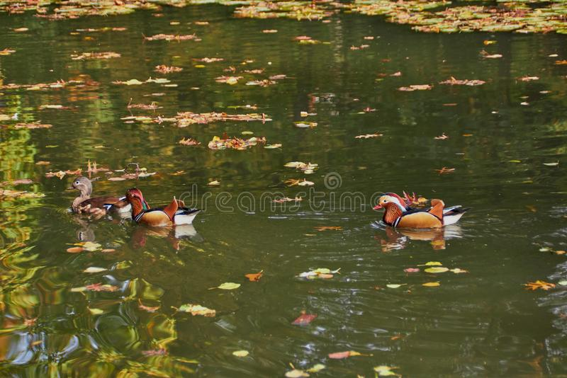 Mandarin duck. Mandarin duck swimming in the lake. Bird with bright multi-colored feathers. Duck with a beautiful color floats on stock photo