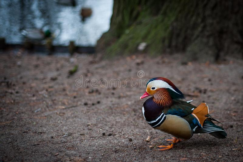 Mandarin duck from Warsaw park stock images