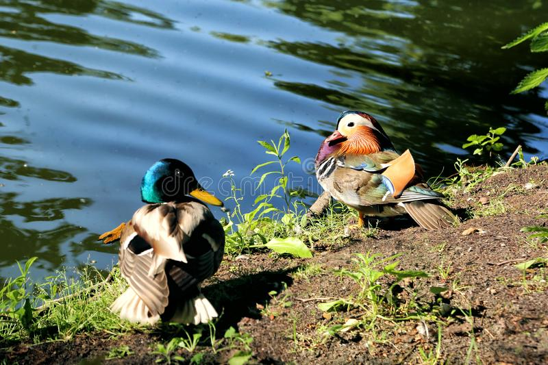 Mandarin ducks on the lake stock photos