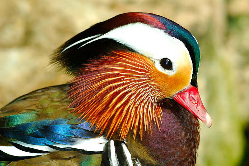 Mandarin Eend royalty-vrije stock afbeelding