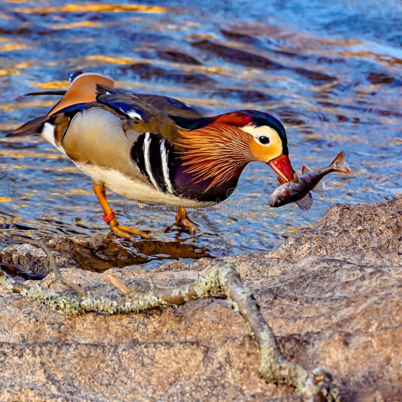 Mandarin eend met een vis in zijn bek stock afbeelding