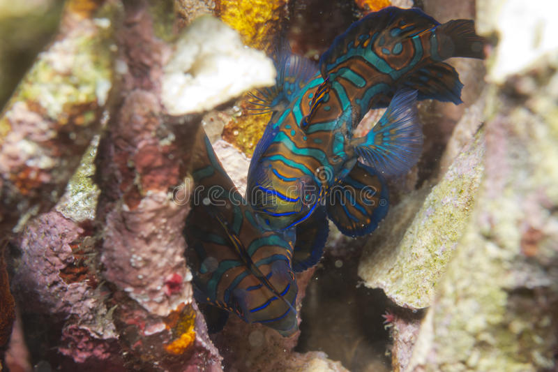 Mandarin fish on hard coral background royalty free stock images