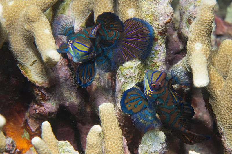 Mandarin fish on hard coral background royalty free stock photography
