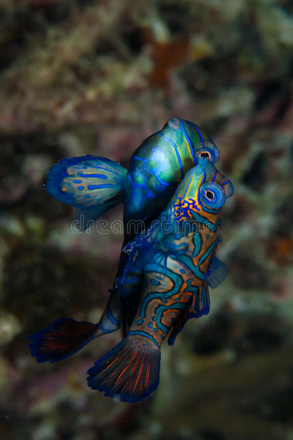 Free Mandarin Fish Mating Royalty Free Stock Images - 32003529