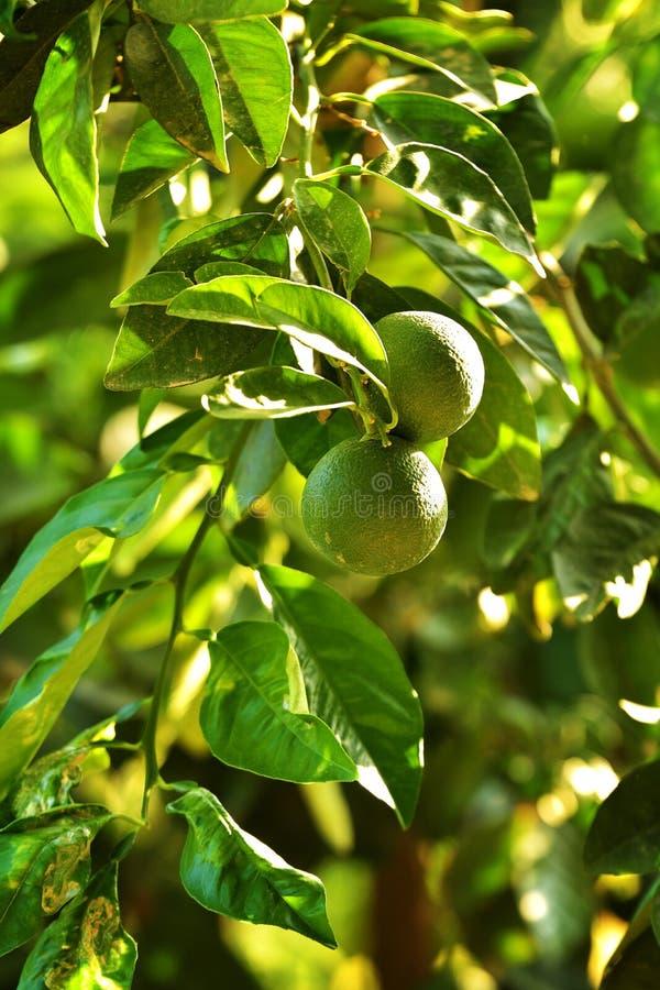 Mandarin fruit green royalty free stock photography