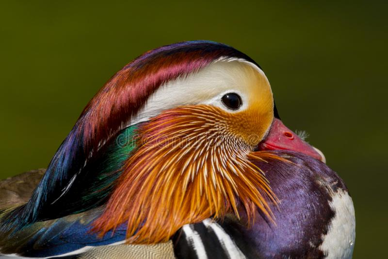 Mandarin galericulatavogel van eend mannelijke aix in volledig het fokkengevederte royalty-vrije stock foto's