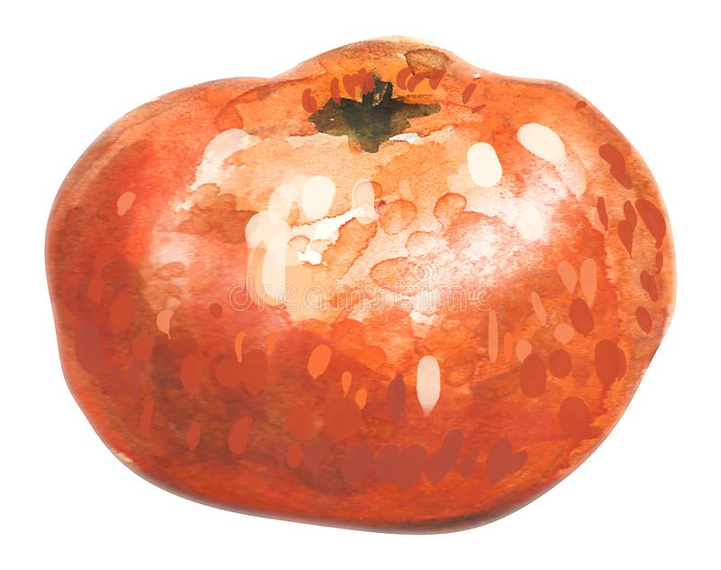 Mandarin hand drawn watercolor, on a white background. illustration. Hand drawn watercolor painting on white background. illustration of fruit tangerine stock illustration