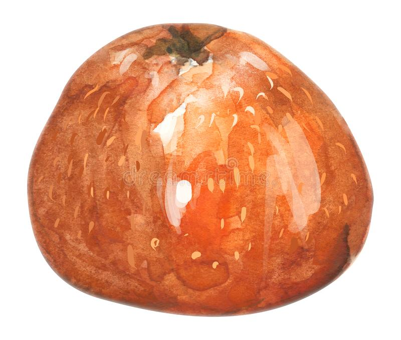 Mandarin hand drawn watercolor, on a white background. illustration. Hand drawn watercolor painting on white background. illustration of fruit tangerine vector illustration