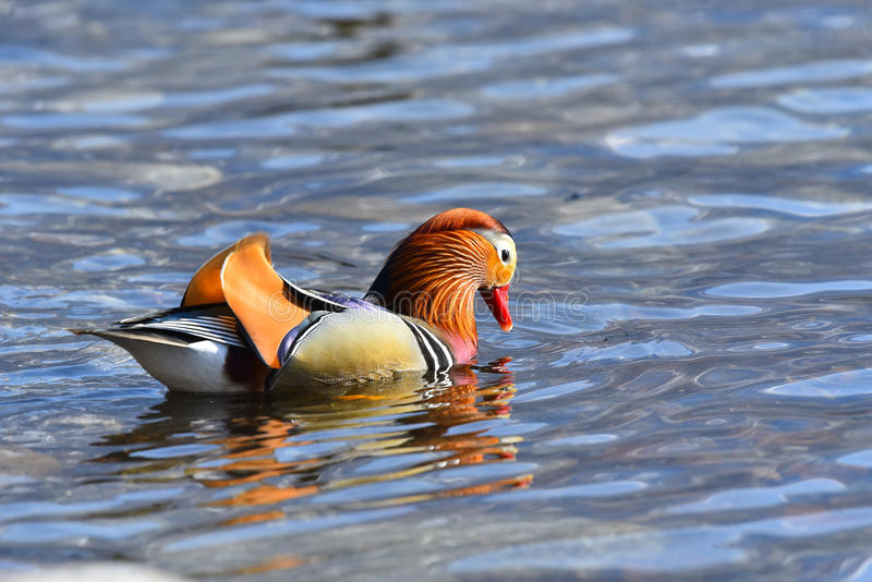 Mandarin het eendmannetje zoekt voedsel stock foto's