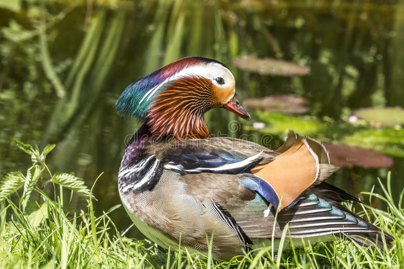 Mandarin male duck stock photo