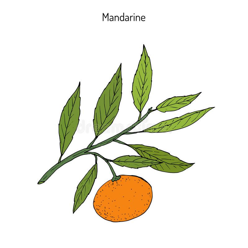 Mandarin orange branch. Mandarin orange Citrus reticulata branch with leaves. Hand drawn botanical vector illustration stock illustration