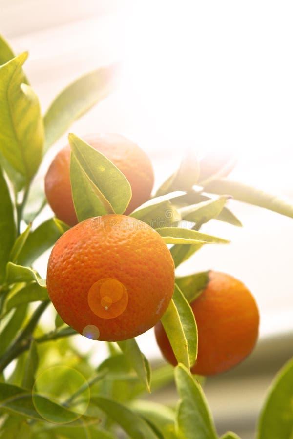 Mandarin orange with green leaves stock photo