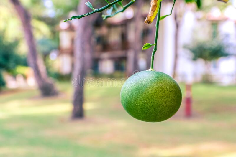 Mandarin orange tree. Branch with unripe mandarin or tangerine. Branches with the fruits of the tangerine trees. Green orange in royalty free stock photography