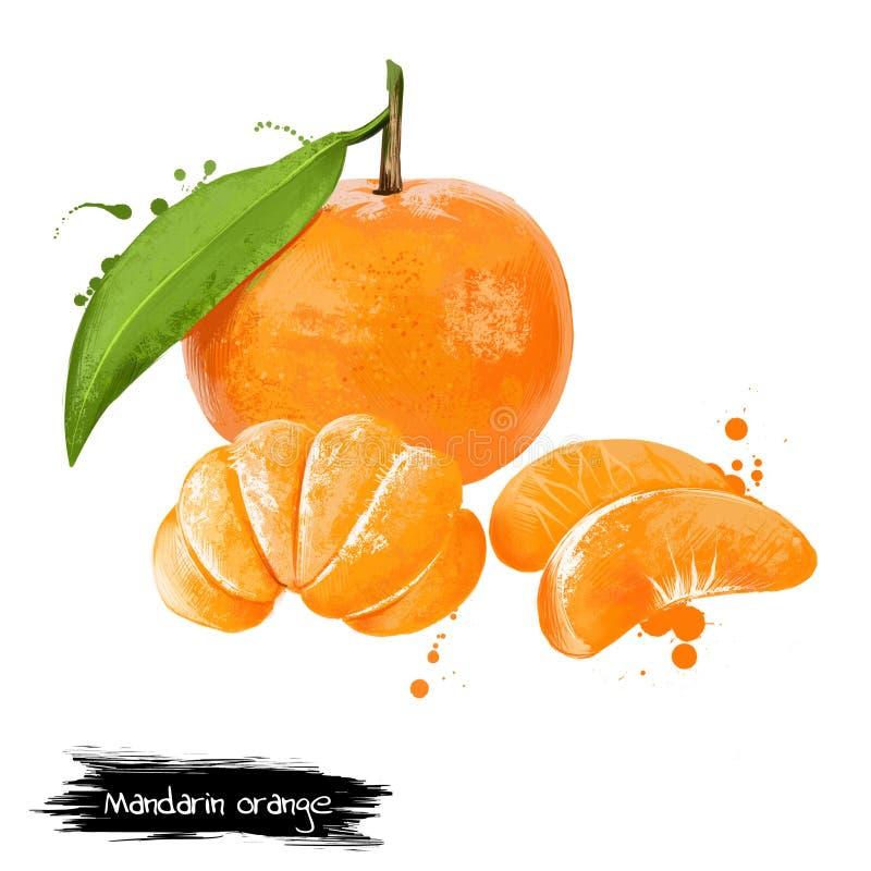 Mandarin, tangerine citrus fruit isolated on white background royalty free illustration