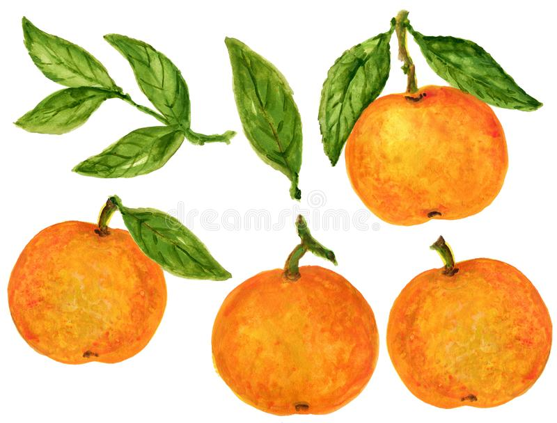 Mandarin Tangerine Orange Watercolor Gouache illustration Citrus fruit branch orange isolated on white background stock illustration