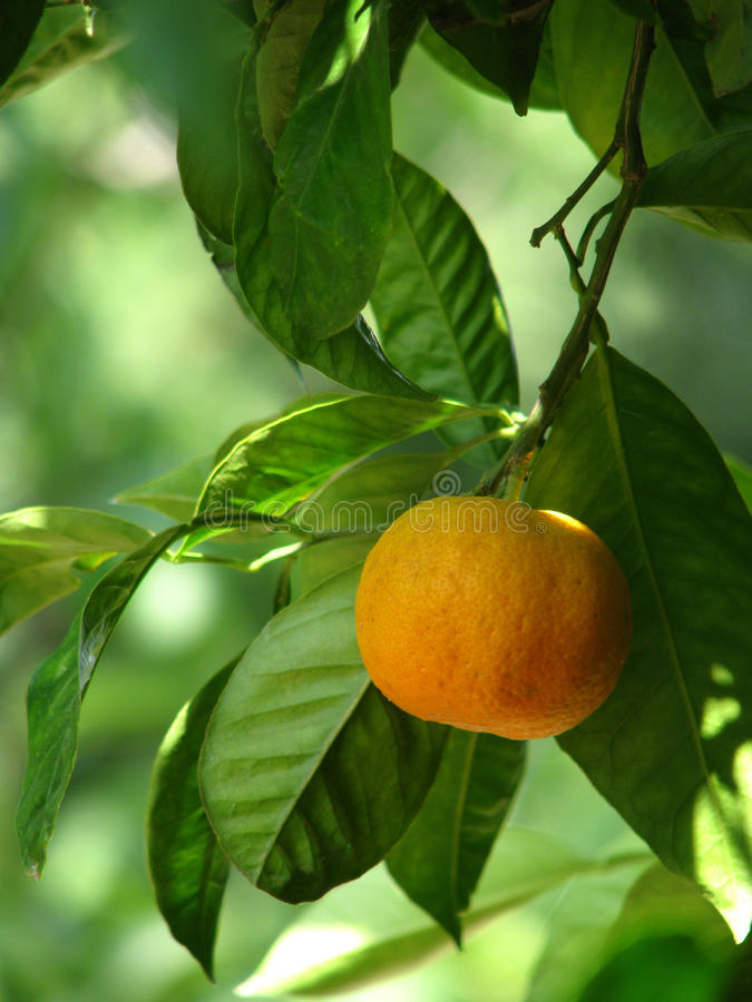 Mandarin On The Tree Royalty Free Stock Photos