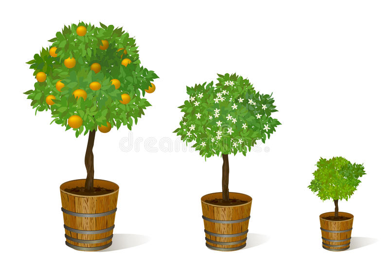 Mandarin tree in a pot. Vector illustration royalty free illustration