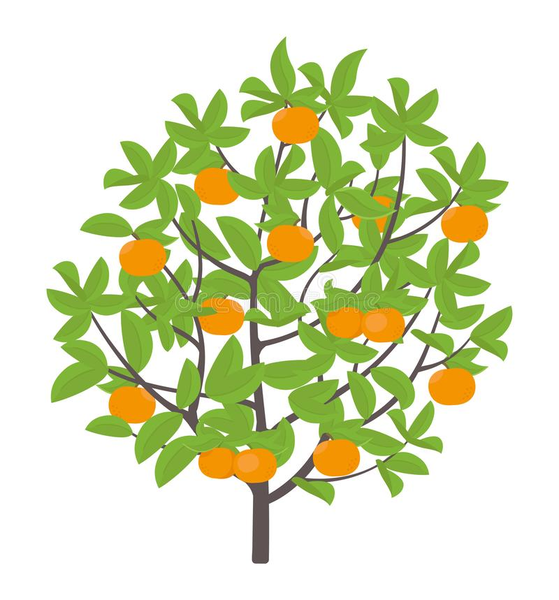 Mandarin tree. Vector illustration. Ripe fruit orange mandarin plant. Flat vector color Illustration clipart. Mandarin tree. Vector illustration. Fruit tree vector illustration