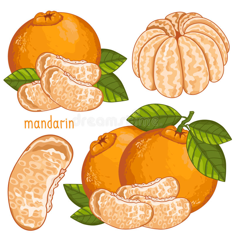 Mandarin , Vector. Mandarin , Mandarin Vector. Composition of Mandarin on white background. Mandarin icon, fruit set. Juicy Mandarin, Mandarin Leaves. Fruit stock illustration
