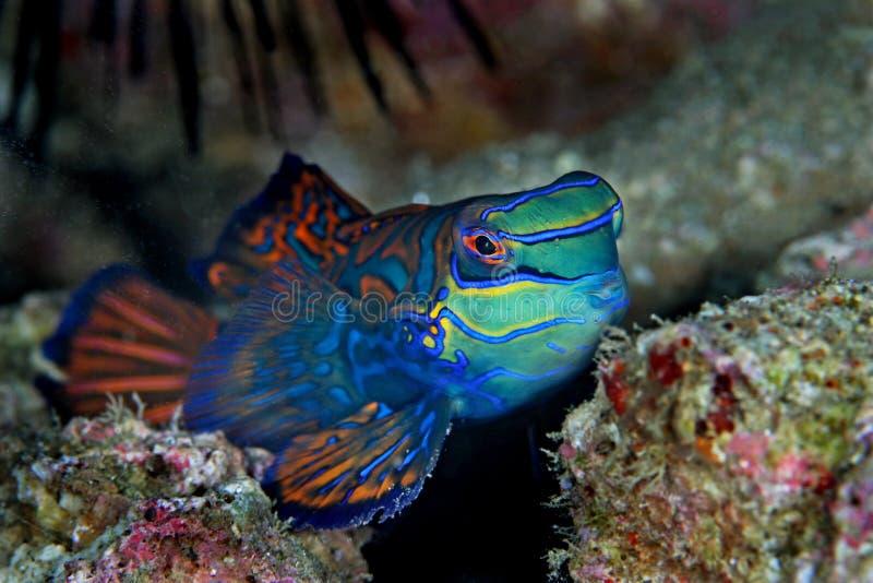Mandarin vissen royalty-vrije stock foto's