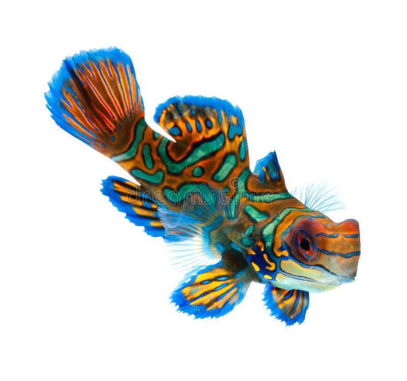 Mandarin vissen die op witte achtergrond worden geïsoleerdg royalty-vrije stock foto's