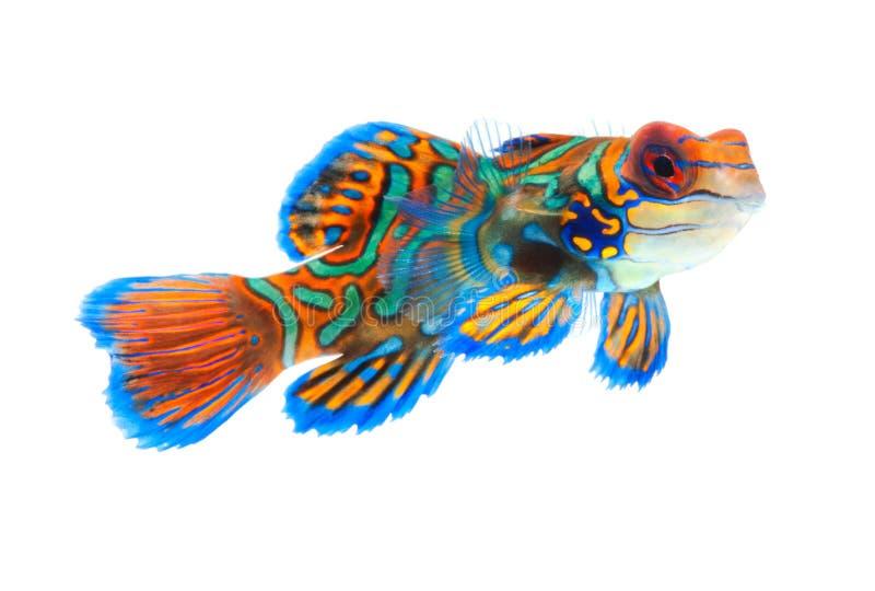 Mandarin vissen die op witte achtergrond worden geïsoleerds stock afbeeldingen