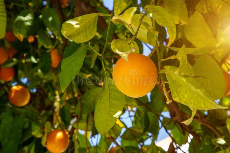 Mandarin vruchten op een boom royalty-vrije stock afbeelding