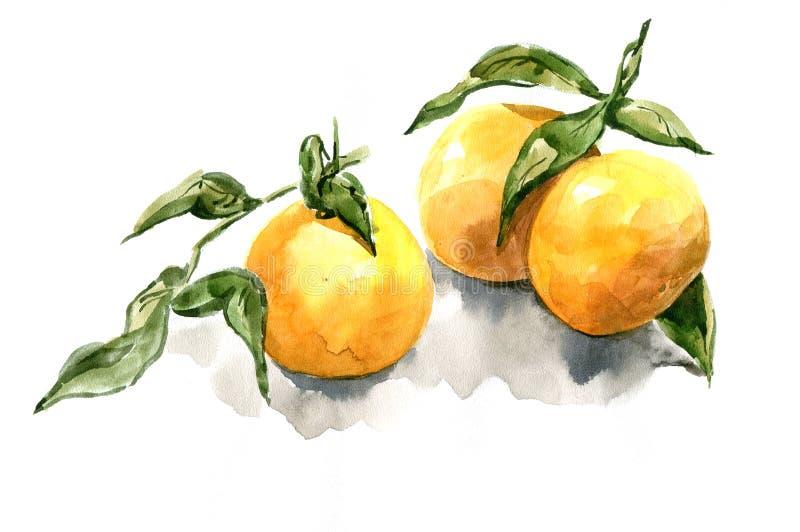 Mandarina con realismo de la acuarela de las hojas stock de ilustración