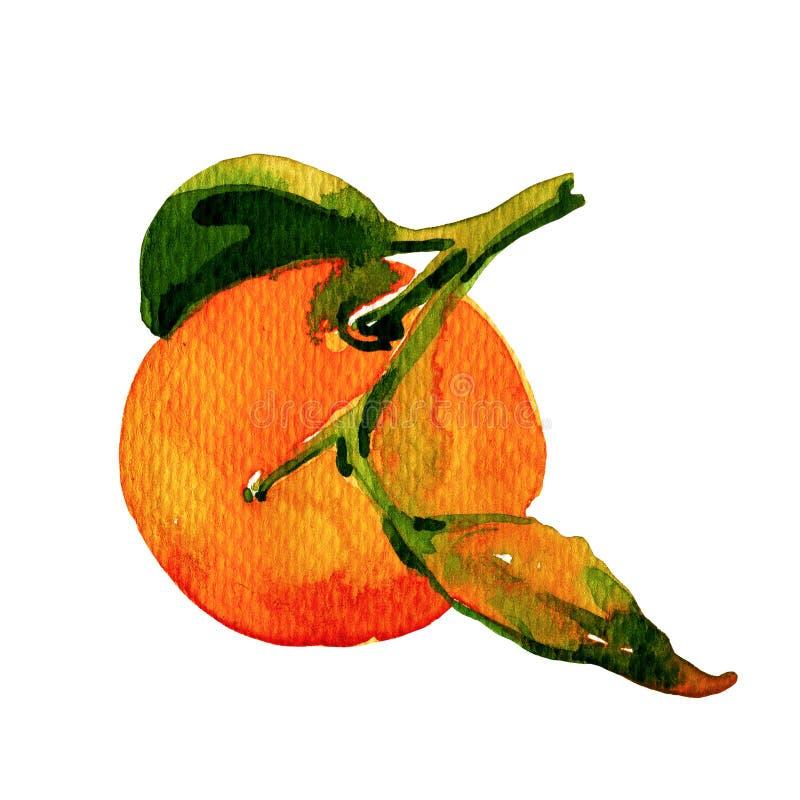 Mandarina de la acuarela en el fondo blanco stock de ilustración