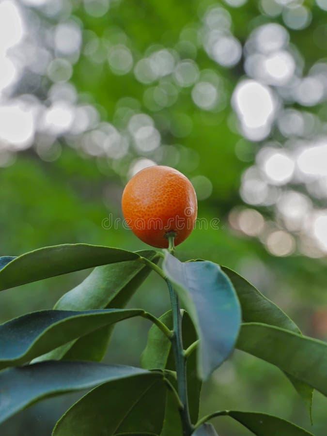 Mandarina en un árbol contra luz del sol imagen de archivo