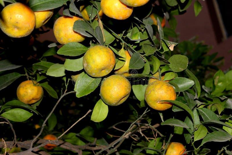 Mandarina, tangerina de la fruta cítrica colocado a menudo debajo de deliciosa de la fruta cítrica imagen de archivo