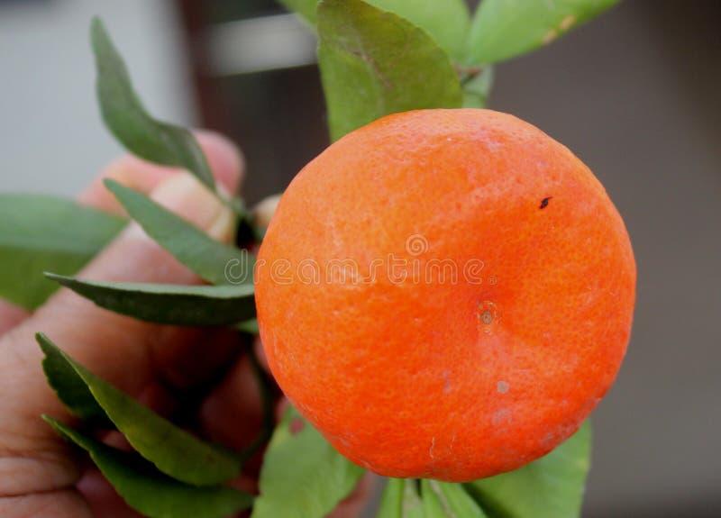 Mandarina, tangerina de la fruta cítrica colocado a menudo debajo de deliciosa de la fruta cítrica fotos de archivo libres de regalías