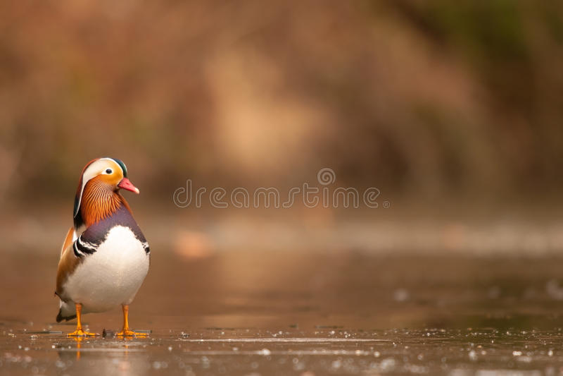 Mandarinand i isfloden royaltyfri fotografi