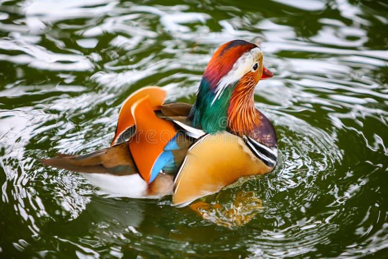 Mandarinand i vatten royaltyfria bilder