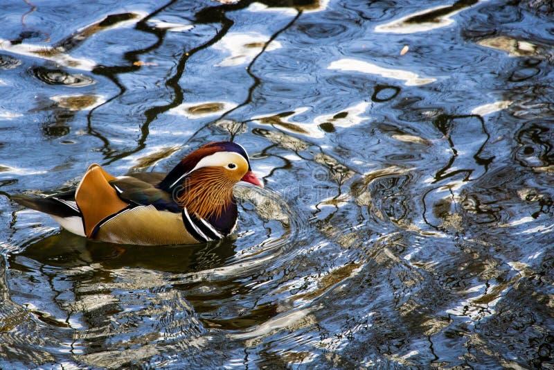 Mandarinand i vatten på en solig dag royaltyfri foto