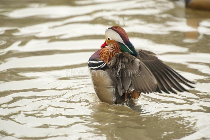 Mandarinand - man i vatten som rufsar hans vingar fotografering för bildbyråer