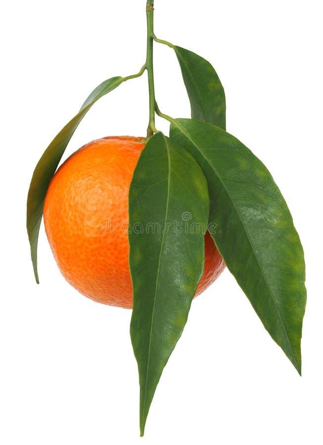 Mandarinapelsinen med lämnar royaltyfria bilder
