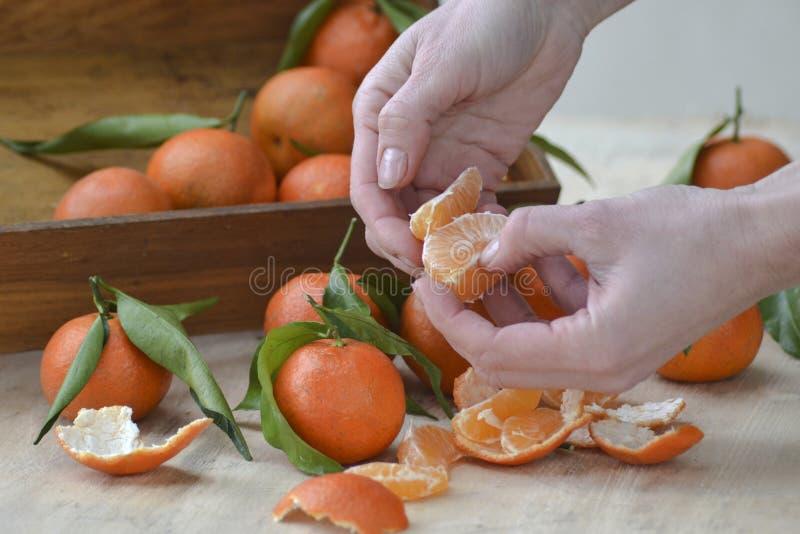 Mandarinas frescas fruta o mandarinas con las hojas en el fondo de madera Manos femeninas que detienen los mandarines maduros, ci fotos de archivo