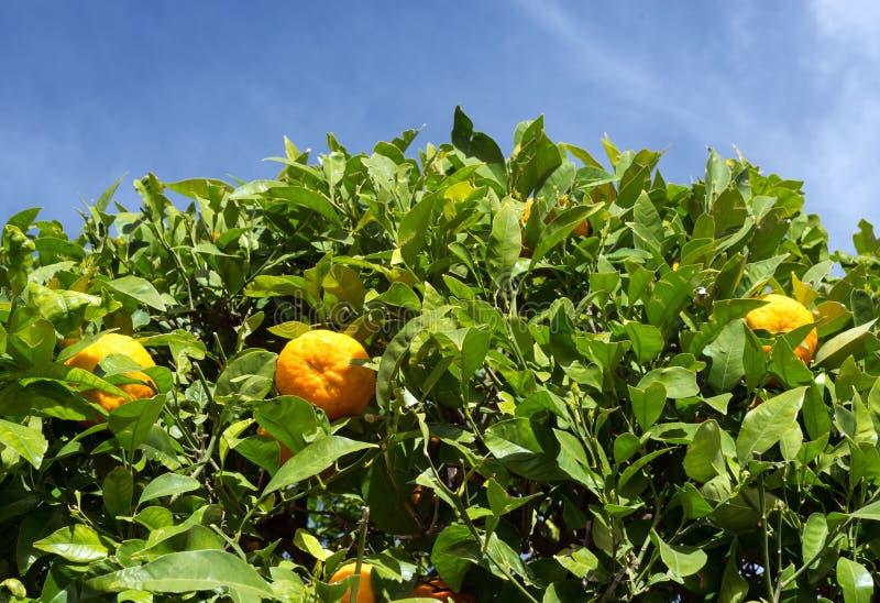 Mandarinas maduras amarillas en un ?rbol contra el cielo azul Un d?a soleado caliente en la ciudad espa?ola de M?laga imagenes de archivo