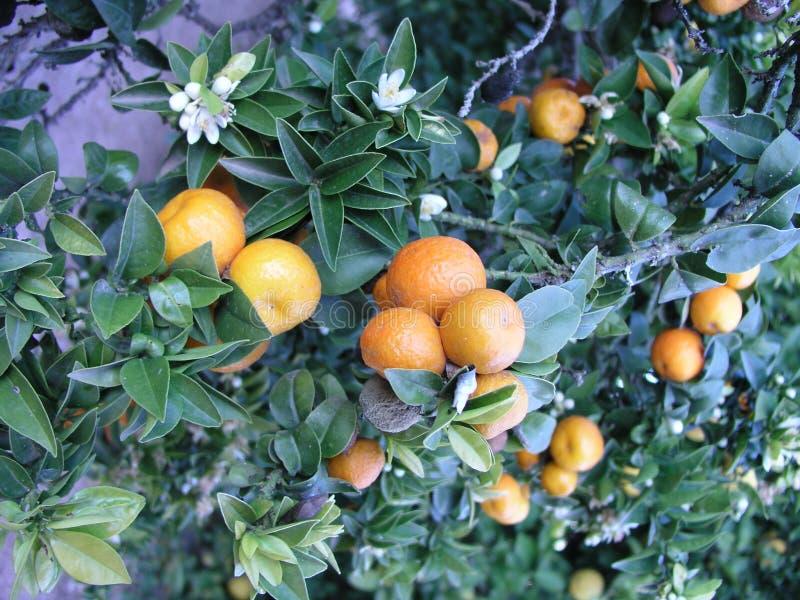 Download Mandarine stock photo. Image of vitamin, fruit, tropic - 7375024