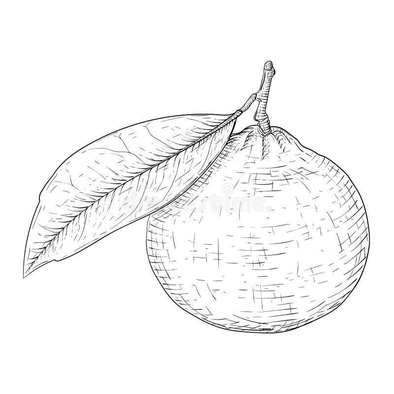 Mandarine avec la feuille Croquis tiré par la main noir et blanc illustration de vecteur