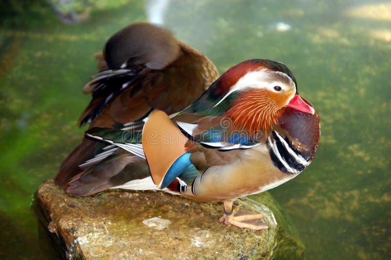 Download Mandarine duck stock photo. Image of yang, birdie, color - 1765732