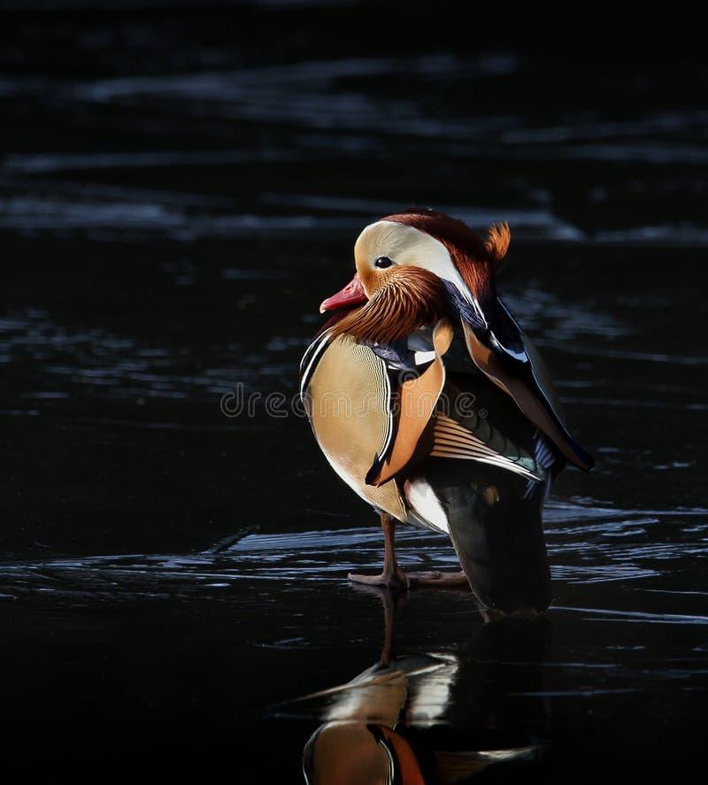 Mandarine Duck On Ice lizenzfreie stockbilder