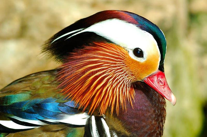 Mandarine-Ente lizenzfreies stockbild