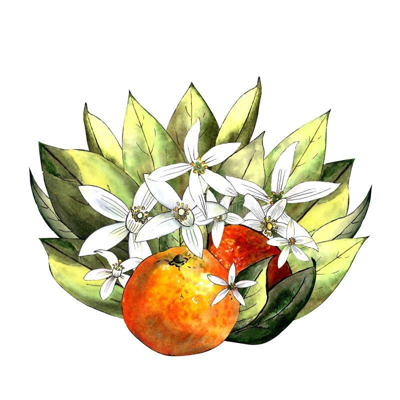 Mandarine mit Blättern und Blumen auf einem weißen Hintergrund Zeichnungsmarkierungen lizenzfreies stockfoto