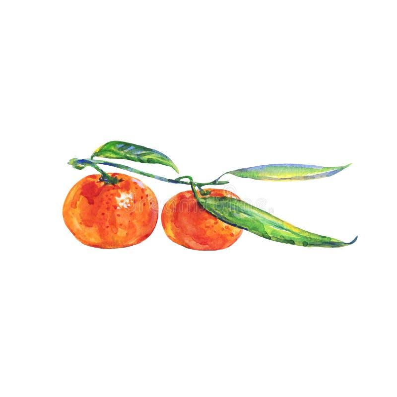 Mandarine orange d'aquarelle sur la branche illustration stock